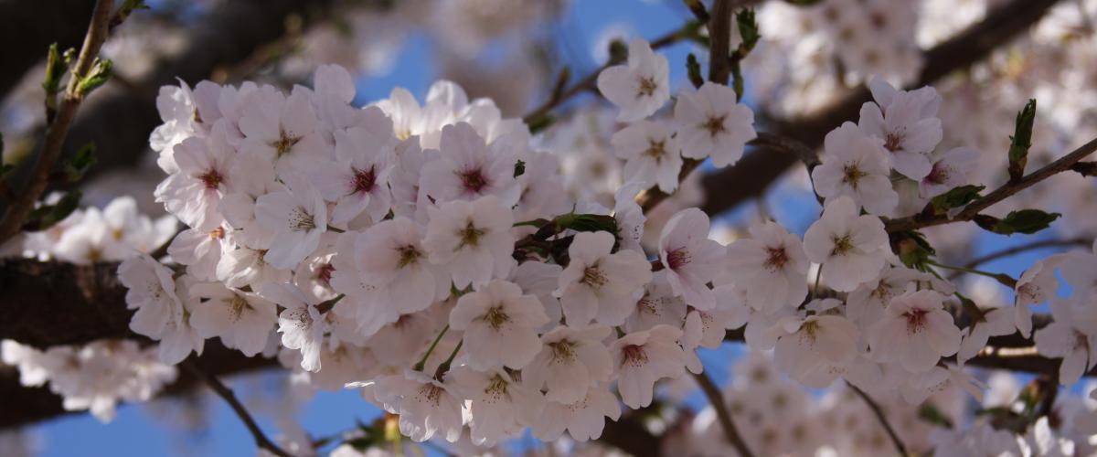 Cherry blossoms South Korea 2017